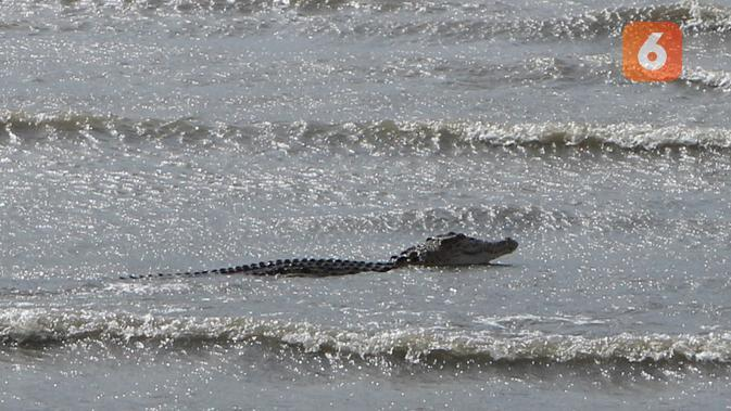 Seekor buaya jenis buaya muara (Crocodylus Porosus) yang tengah menampakkan diri di muara Teluk Palu. Buaya jenis yang sama juga ditemukan di Kecamatan Sojol, Donggala. (Foto: Liputan6.com/ Heri Susanto).