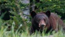 野生黑熊突襲!媽遭撲倒地「瘋狂撕咬」…9歲兒目睹血腥全程