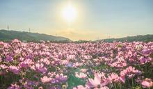 花海浪漫來襲!「2020桃園花彩節」三大展區拍到手軟