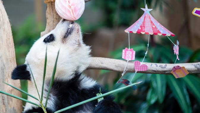 Panda raksasa Yi Yi bermain di Kebun Binatang Nasional Malaysia, Selasa (14/1/2020). Yi Yi merupakan anak kedua dari pasangan Xing Xing dan Liang Liang. (Xinhua/Zhu Wei)