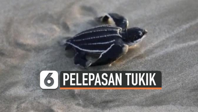 VIDEO: Jaga Ekosistem, Warga Lepas Tukik Penyu Belimbing di Aceh