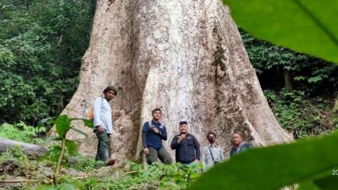 Keren, Ada Pohon Raksasa Berumur 500 Tahun di Hutan Agam