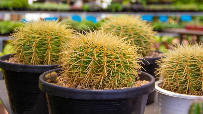 ilustrasi jenis kaktus mini untuk menghias kamar tidur/aimpol buranet/shutterstock