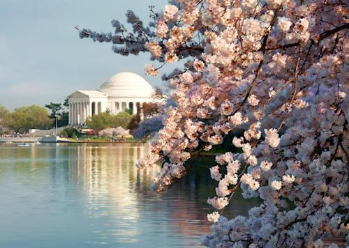 Cherry blossom time: Flickr photo of the day