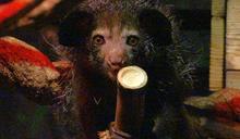 指猴「Hira」來台灣 北市動物園蓋「豪宅」招待