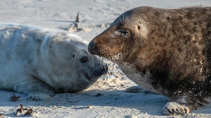 Seekor anjing laut abu-abu betina (kanan) berinteraksi dengan anaknya di pantai Pulau Helgoland, Jerman, 4 Januari 2020. Setelah tiga minggu menyusui, induk anjing laut abu-abu akan membiarkan anaknya mengurus diri mereka sendiri. (John MACDOUGALL/AFP)