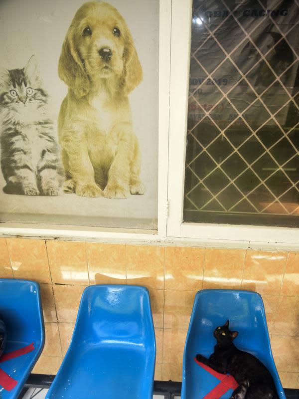 Seekor kucing duduk di atas kursi kosong di Rumah Sakit Hewan Jakarta (RSHJ) di Ragunan, Jakarta (22/9/2020). Rumah sakit ini juga berfungsi sebagai sekolah medis dan pusat pelatihan bagi dokter hewan. (Xinhua/Agung Kuncahya B.)