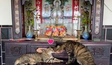 兩隻虎斑貓神桌上「曬恩愛」 媽笑:要神明幫忙公證嗎?