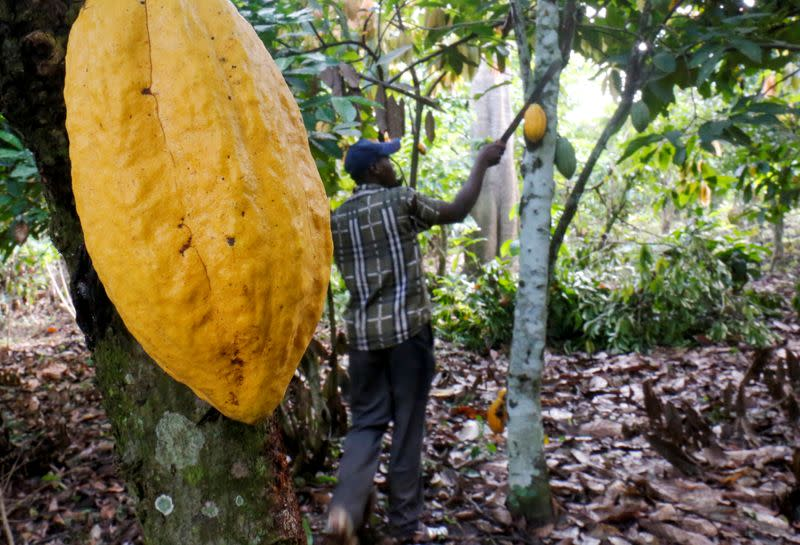 FILE PHOTO: A farmer works in a cocoa farm in Bobia, Gagnoa