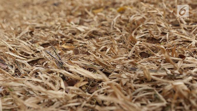 Rumput yang mengering di Taman Sepeda, Jakarta Selatan, Sabtu (25/8). Kurangnya perawatan serta musim kemarau yang masih berlangsung di Ibukota membuat rumput dan sejumlah tanaman di taman tersebut mati akibat kekeringan. (Liputan6.com/Immanuel Antonius)