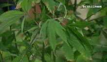如果美國要台開放大麻會怎樣?網揭密