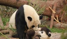 只保育大貓熊? 中國肉食性野生動物驟減