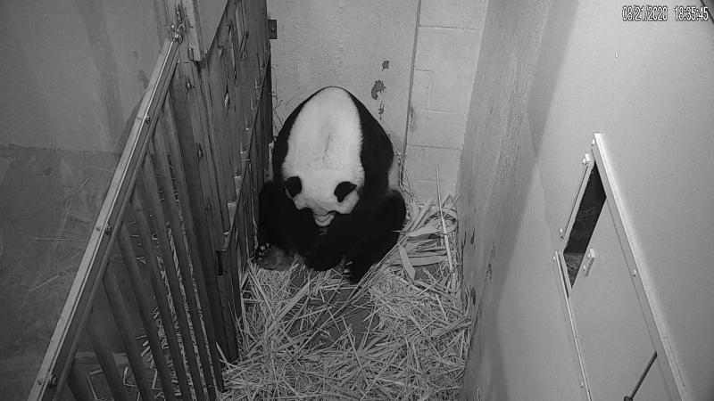 Nation's Capitol Baby Panda