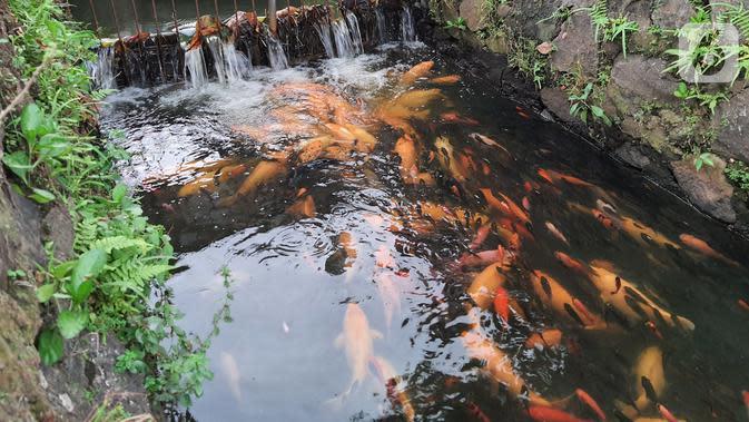 Ikan mas yang dibudidaya di sepanjang saluran air di Puri Pamulang, Tangerang Selatan, Minggu (13/8/2020). Saluran air atau selokan dari aliran Situ Ciledug dimanfaatkan warga sejak PSBB diterapkan pemerintah. (Liputan6.com/Fery Pradolo)