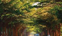 【悠活臺南】臺南最美綠色隧道群覽 漫遊綠蔭森呼吸