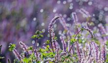 桃園仙草花節高人氣開幕 歡迎大家來一睹浪漫紫色花海