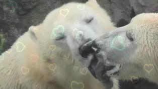 害羞到不敢看 北極熊瘋狂舌吻