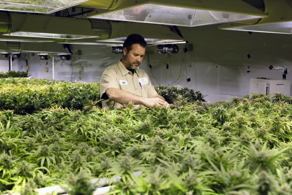 In this Dec. 5, 2013, photo, Tyler, no last name given, inspects plants as they mature at the Medicine Man dispensary and grow operation in northeast Denver. As Colorado prepares to be the first in the nation to allow recreational pot sales, opening Jan. 1, hopeful retailers are investing their fortunes into the legal recreational pot world _ all for a chance to build even bigger ones in a fledgling industry that faces an uncertain future.(AP Photo/Ed Andrieski)