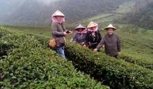 宜蘭深度旅遊 你所不知道茶鄉中山 體驗採茶採柚正是時候