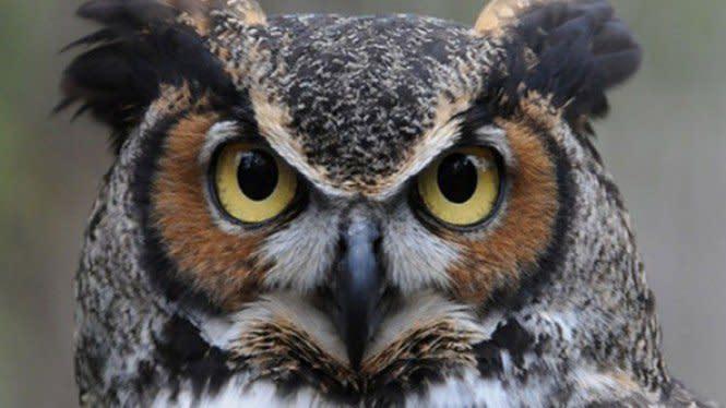 Ini Dia 3 Fakta Menarik Mengenai Burung Hantu