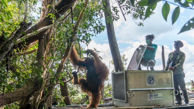 Upaya mencarikan rumah baru untuk Jhon, orangutan Kalimantan yang terusir dari habitatnya karena kerusakan hutan. (Liputan6.com/ Aceng Mukaram)