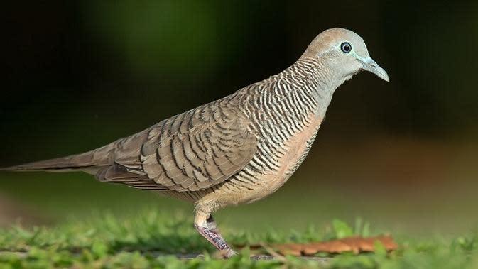Ilustrasi burung perkutut | dictio.id