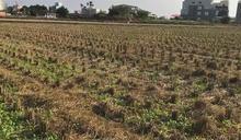 嘉南一期稻作停灌 農委會25日宣布補償方案