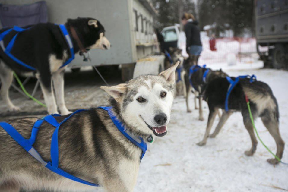 A dog belonging to Nicolas Petit's team awaits the official start of the Iditarod race (Reuters)