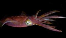 環保材料新革命!魷魚也有機會成為海洋救星?