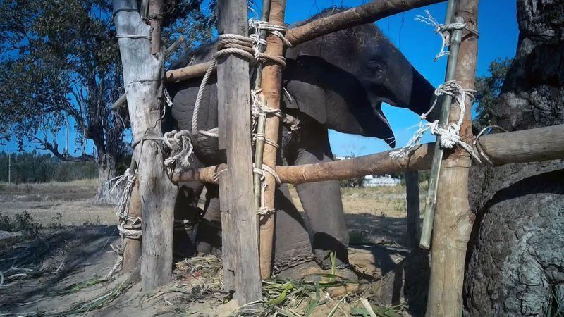 Organisasi amal sebut gajah Thailand mengalami trauma dan penganiayaan untuk menghibur wisatawan