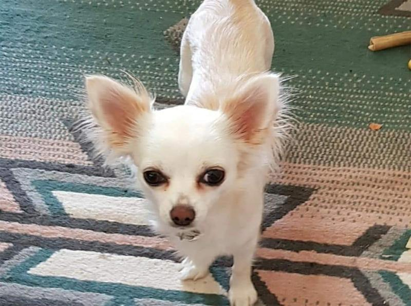 Missing dog in New Zealand: Bubbles the chihuahua, 2, (pictured) has been missing since she was thrown from a car during an accident on Friday.