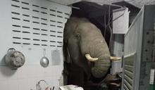 太熟了也不好! 大象是她家「常客」 泰國女子廚房牆壁遭撞破