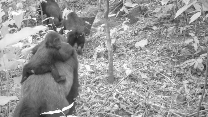 Foto dari jebakan kamera menunjukkan gorila betina Cross River dewasa dengan bayi di punggungnya di Pegunungan Mbe Nigeria pada 30 Januari 2020. Hanya ada 300 ekor gorila Cross River yang diketahui hidup di alam liar dan menjadikan mereka sub-spesies yang paling terancam punah. (WCS Nigeria via AP)