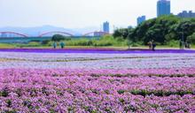 【有片】花季尾聲衝一波!古亭河濱公園絕美紫色漸層花海只到三月下旬