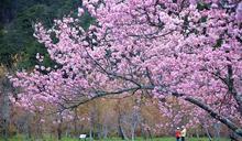武陵農場櫻花季管制時間出爐 11月1日開放團客預約