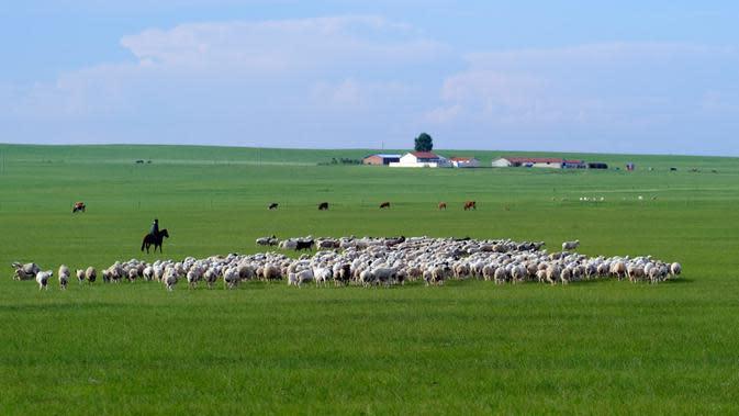 Seorang gembala menggembalakan domba di sebuah padang rumput di Prefektur Xilingol, Daerah Otonom Mongolia Dalam, China pada 2 Juli 2020. Lahan yang mengalami desertifikasi dan sandifikasi di Mongolia Dalam telah berkurang dalam 15 tahun beruntun. (Xinhua/Jia Lijun)
