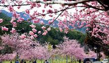 體貼遊客228連假賞櫻規劃 武陵櫻花季管制延長一天