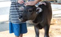 牛年習俗大考驗!「摸春牛」哪個部位會大富貴?為什麼農夫不吃牛呢