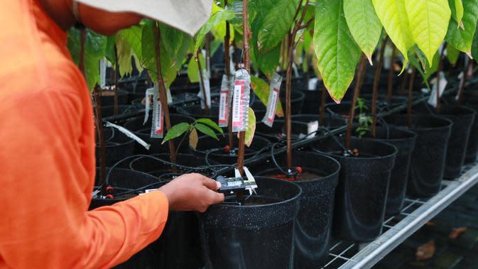 3 File: 03_PCTC_Nursery Fasilitas Nursery pada PCTC difungsikan untuk meneliti cara pembibitan kakao yang paling optimal