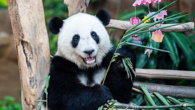 Panda raksasa Yi Yi menikmati kudapan ulang tahun di Kebun Binatang Nasional Malaysia, Selasa (14/1/2020). Yi Yi berarti persahabatan dalam bahasa Mandarin. (Xinhua/Zhu Wei)