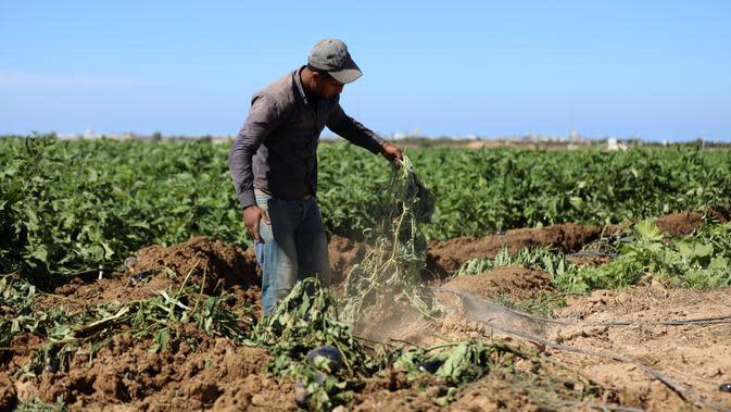 Seorang petani Palestina memeriksa lahan pertaniannya setelah buldoser tentara Israel merusak sebagian lahan itu, yang berada di sebelah timur Khan Yunis di perbatasan Jalur Gaza selatan (13/10/2020). (Xinhua/Yasser Qudih)