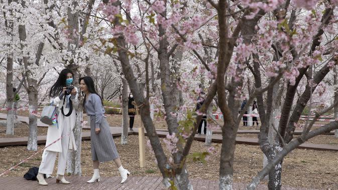 Pengunjung melihat foto-foto yang mereka ambil dekat bunga sakura di Taman Yuyuantan, Beijing, China, Kamis (26/3/2020). Musim semi dan bunga sakura bermekaran memikat warga untuk keluar rumah dari yang sebelumnya membatasi diri karena pandemi virus corona COVID-19. (AP Photo/Ng Han Guan)