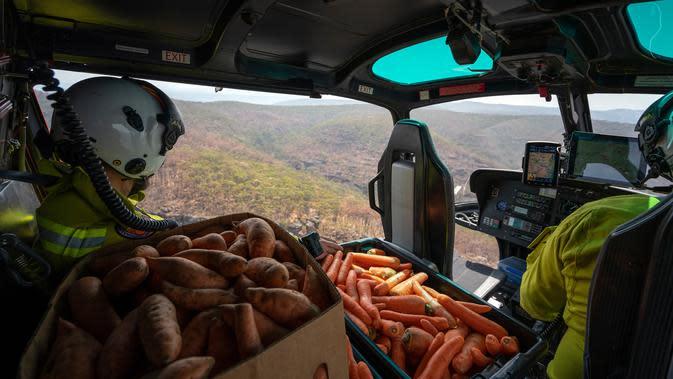 Petugas margasatwa NSW menjatuhkan wortel dan ubi jalar untuk walabi di atas daerah yang terkena dampak kebakaran hutan di sepanjang Pantai Selatan New South Wales pada 10 Januari 2020. Penyebaran dilakukan lewat udara dengan sejumlah helikopter. (STR/NSW NATIONAL PARKS AND WILDLIFE SERVICES/AFP)