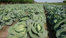 農糧署估農曆春節前高麗菜超量 籲農友評估種植風險