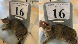 星國貓咪誤闖疫苗施打區 霸佔排隊椅乖乖討拍