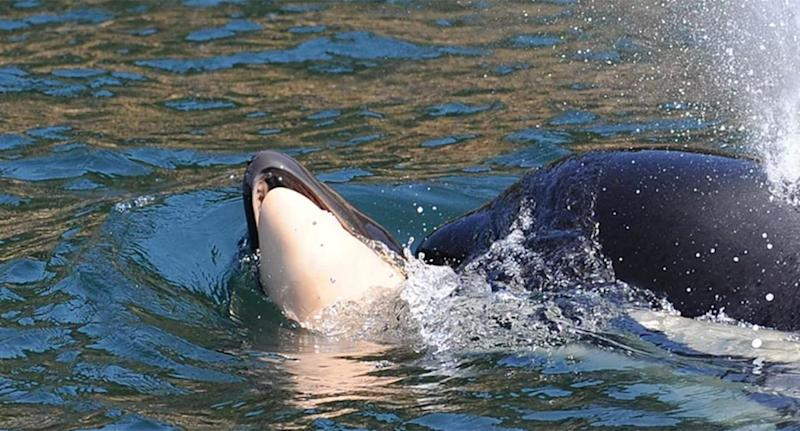 Scientists believe the dead killer whale's carcass will be difficult to locate at the bottom of the sea. Source:<span>Center for Whale Research</span>