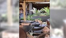 野生花豹誤闖飯店 悠閒散步吸引現場遊客目光