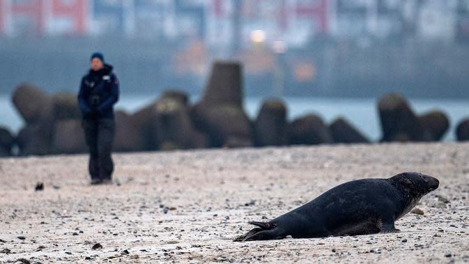 Anjing laut abu-abu jantan berjalan di pantai Pulau Helgoland, Jerman, 5 Januari 2020. Saat musim kawin dimulai, para pejantan akan berkompetisi mendapatkan betina dengan adu kekuatan dengan pejantan lainnya. (John MACDOUGALL/AFP)