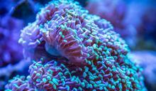 氣候暖化 大堡礁的珊瑚已消失一半!