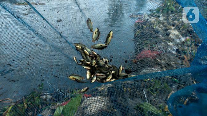 Ikan betik terperangkap dalam perangkap ikan tradisional atau anco milik warga di Kali Doser, Desa Wates, Bekasi, Jawa Barat, Selasa (21/1/2020). Hujan besar yang turun menjadi berkah bagi warga karena aliran air Kali Doser akan meluap dan menjadikan tangkapan melimpah. (merdeka.com/Imam Buhori)